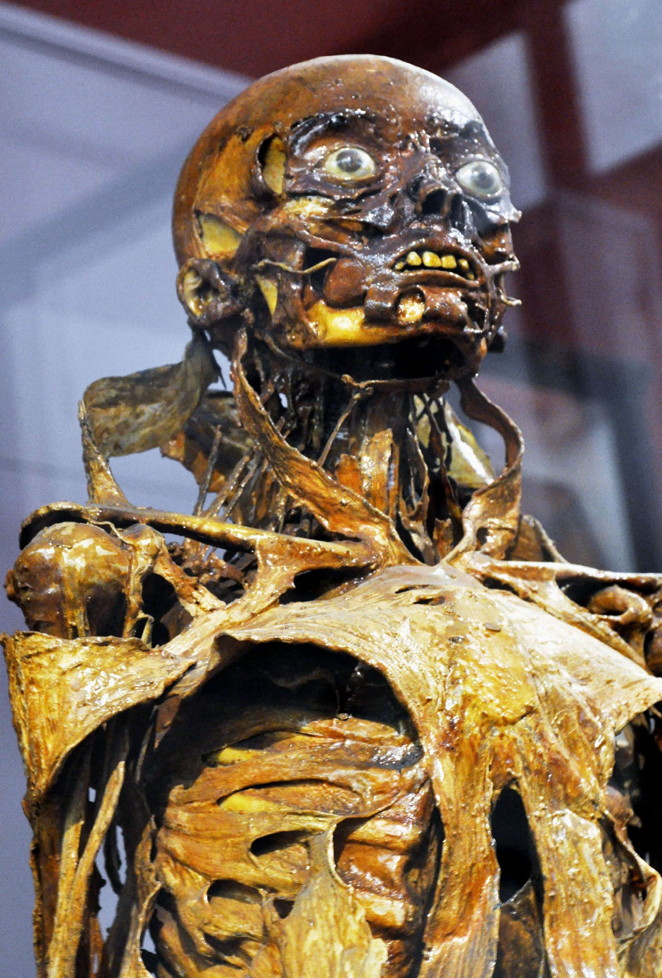 F fontana cire anatomique mus e d 39 anatomie de montpellier board of - Musee fragonard paris ...